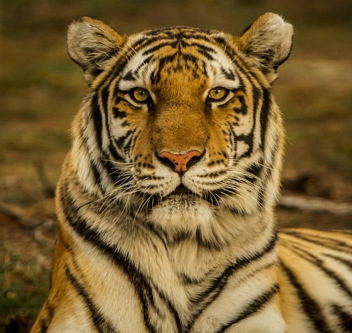 animali_tigre