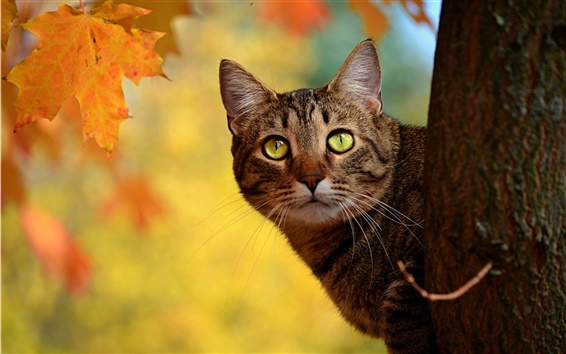 Autumn-cat-peeping-yellow-leaves_m