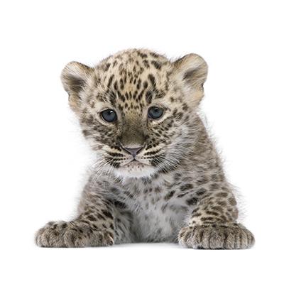 persian-leopard-cub-6-weeks-PBMFC6E